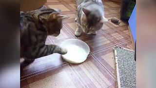 """Cats Fight Over Milk Bowl"""