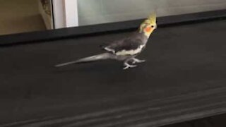 Cockatiel stays in shape using treadmill