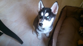 Husky puppy singing