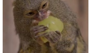 Relatable: Tiny Monkeys Cram Delicious Treats Into Their Mouths