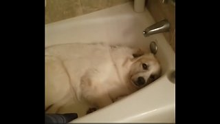 Guilty Dog Hilariously Caught Sleeping In The Bathtub - Video