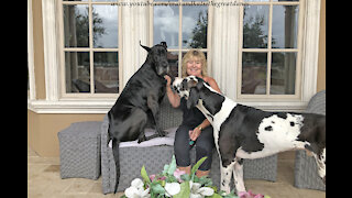 Funny Great Danes Think They Are Lap Dogs
