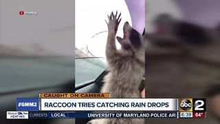 Raccoon tries to catch raindrops - Video