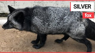 Extremely Rare Silver Fox Looked After by RSPCA after it was Discovered in a Garden