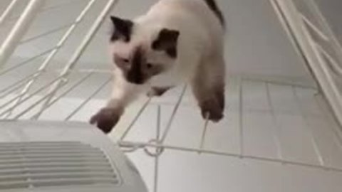 Clumsy kitten struggles to walk on washing rack