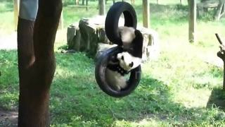 Just some very cute panda cubs on a tyre swing - Video