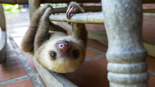 Rescued baby sloths in Costa Rica - Video