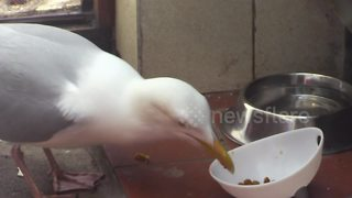 Stealthy seagull checks coast is clear before stealing cat food - Video