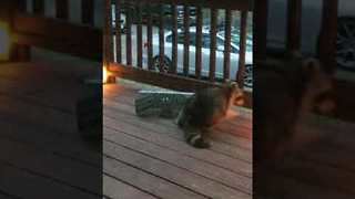 Sandwich Trap Is No Match For Sneaky Raccoon