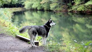 Cute Siberian Husky Enjoys Off Leash Walking at Mine Falls Park Nashua - Video