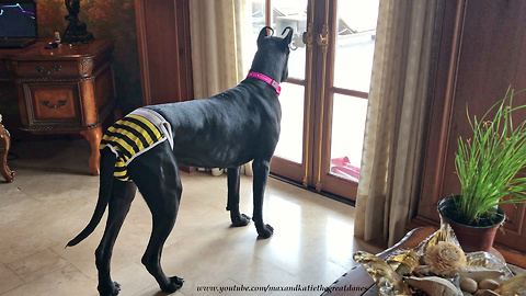 Great Dane Models Bumble Bee Panties and Light Up Collar