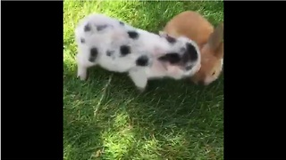Mini pigs perform their favorite trick - Video