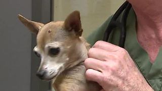 Animal Foundation vaccinating shelter dogs ahead of dog flu - Video