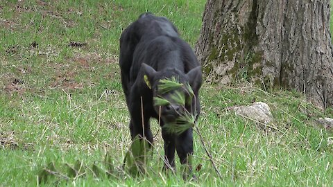 Newborn calf discovers that a pine bough makes a great toy