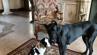 Pair of Great Danes pose for picture - Video