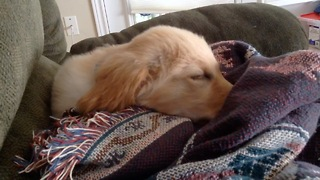 Puppy chirps and runs during nap time - Video