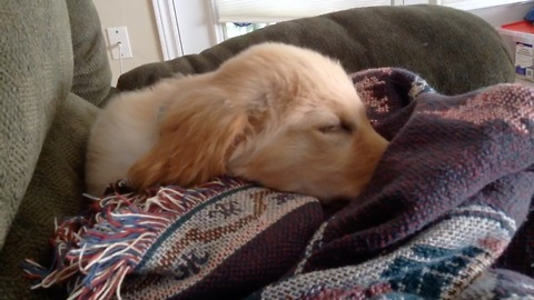 Puppy chirps and runs during nap time