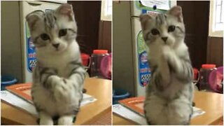 The adorable begging cat!