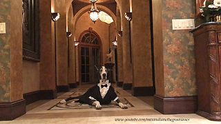 Great Dane in Elegant Tuxedo Halloween Costume - Video