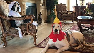 Costume-wearing Great Danes celebrate Thanksgiving - Video
