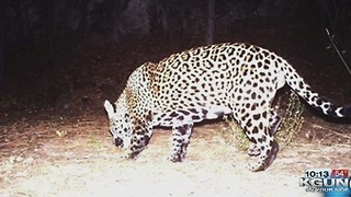 State: Jaguar in Huachuca Mountains is new to area - Video