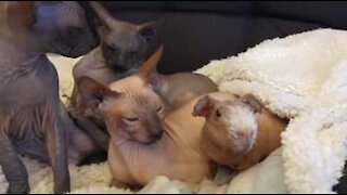Hairless Guinea pig thinks he's a Sphynx cat