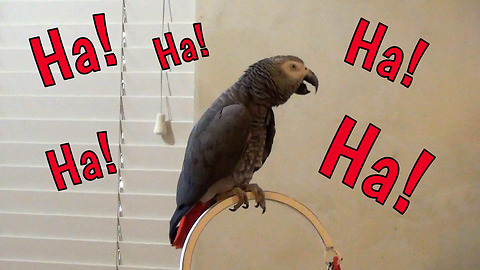 Hysterically parrot has case of the giggles