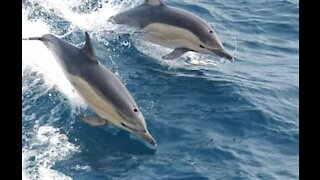 Dolphins spotted surfing in Australia
