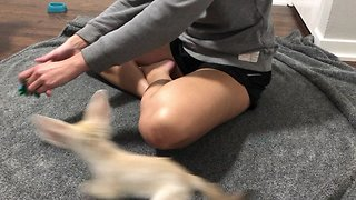 How to exercise an adorable fennec fox