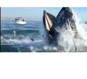 Humpback Seen Feeding in Spectacular Style Off Long Island - Video