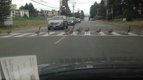 Large geese family effectively use cross walk