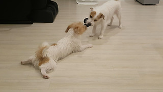 Jack Russell plays tug-of-war from comfort of dog bed