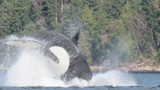 Killer Whale Attacks Sea Lion Near Hornby Island - Video
