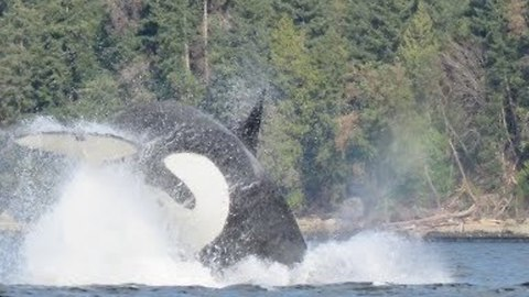 Killer Whale Attacks Sea Lion Near Hornby Island
