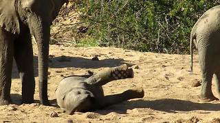 Adorable young elephant struggles to get back up on its feet