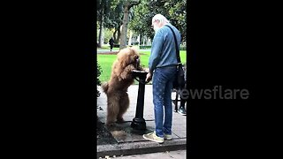 Dog fends off heatwave by drinking from a fountain like a human