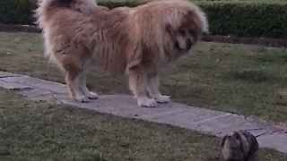 Massive Tibetan Mastiff Humbled By Fearless Bunny