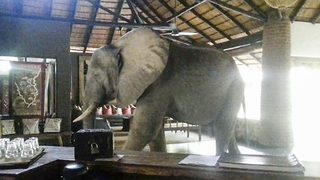 Elephants Walk Through Hotel Lobby Like They Own The Place - Video