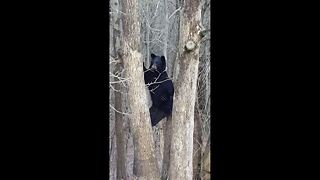 Protective mother bear climbs tree to keep closer eye on her cubs - Video