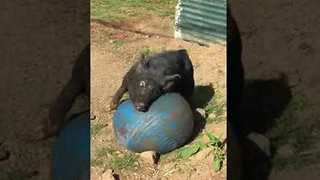 Wild Boar Enjoys a Little Soccer in the Sun - Video