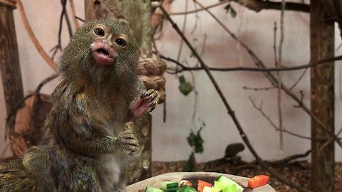 Pygmy Marmoset eats meal in front of spectators