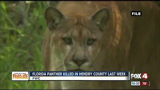 Panther found dead along road in Hendry County last week