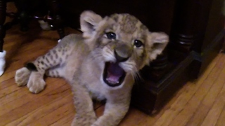 Adorable sleepy lion cub settles down for a nap - Video