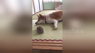 Dog and hedgehog have a prickly relationship - Video