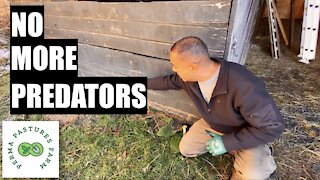 Predator Proofing The Permaculture Barn
