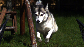 Dogs jumping in high quality super slow motion