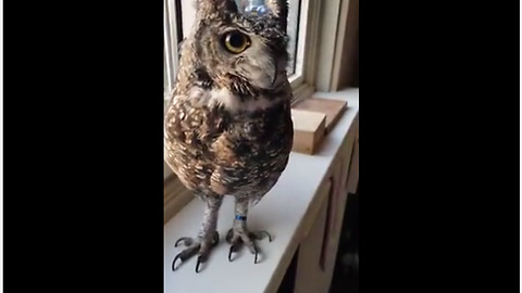 Baby Owl Sings Along With Its Owner