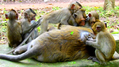 Small Monkey Massage For King Sleep