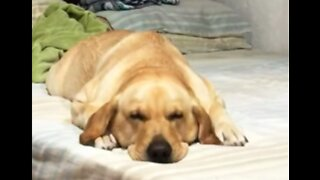 Let Sleeping Dogs Swim: Labrador 'Works Out' in Her Sleep