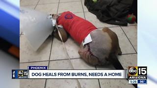 Dog who suffered severe chemical burns needs home - Video